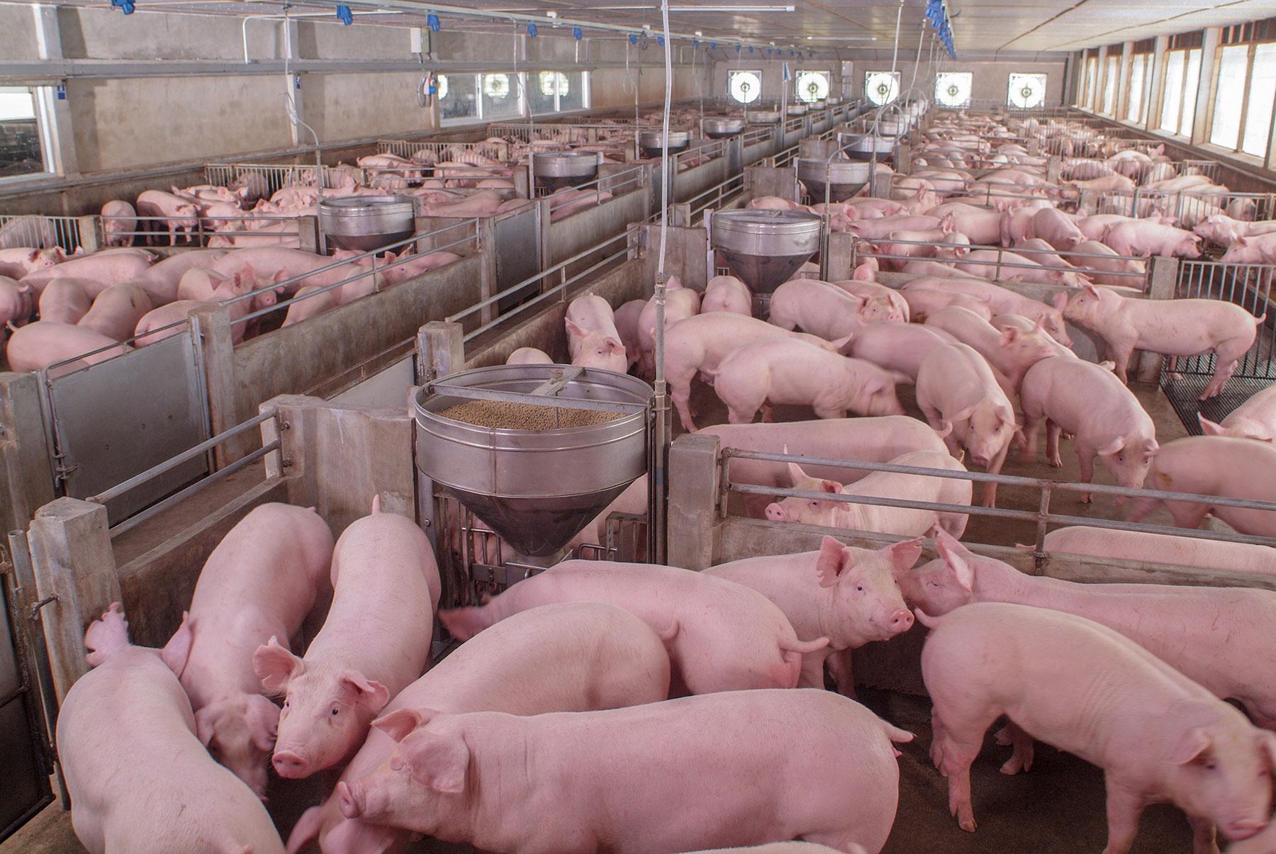 qualitaets-ergaenzungsfutter-schweine