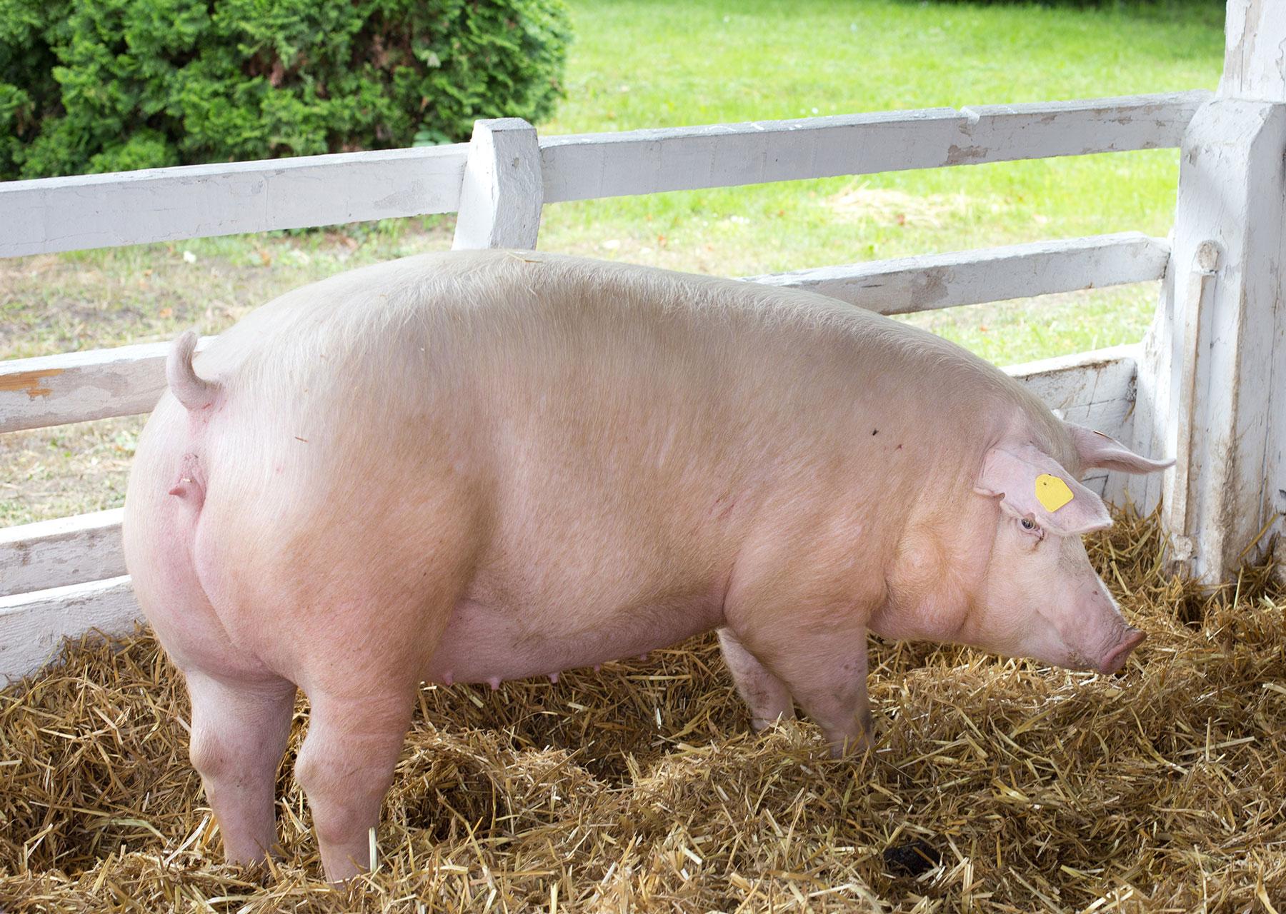 schwein-kraftfutter